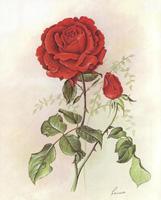 Red Rose (*)