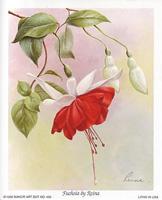 Fuchsia (*)