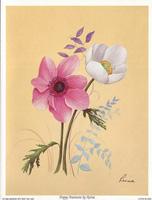 Poppy Anemone (*)