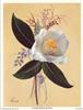 Camellia Japonica (*)
