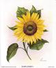 Sunflower  I (S) (*)