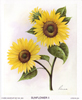 Sunflower II (S) (*)