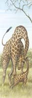 Mama Giraffe with Baby (*)