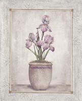 Imperial Iris (*)