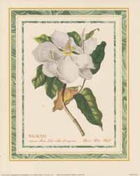 Magnolia Maximo Flore (*)