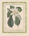 Magnolia Oblongis (*)