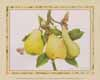 Antique Pears (*)