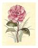 Camellia (*)