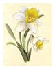 Daffodil (*)