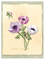Anemone (*)