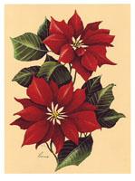 Poinsettia (*)