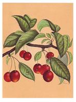 Cherries (*)