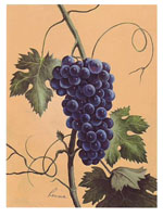 Purple Grapes (*)