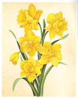 Yellow Daffodils (*)