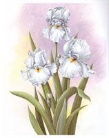 White Irises (*)