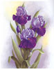 Purple Irises (*)