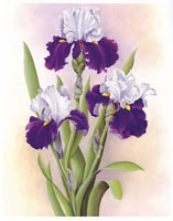 Purple and Lavender Irises (*)